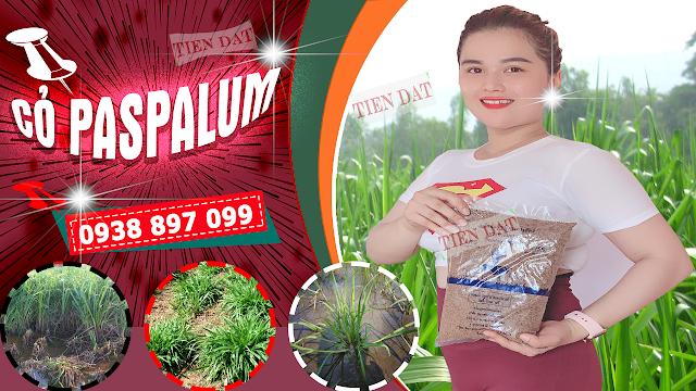 Bảng giá bán hạt giống cỏ paspalum atratum cỏ chịu ngập úng
