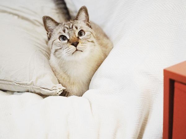 ふとんの上から何かを見つめているシャムトラ猫