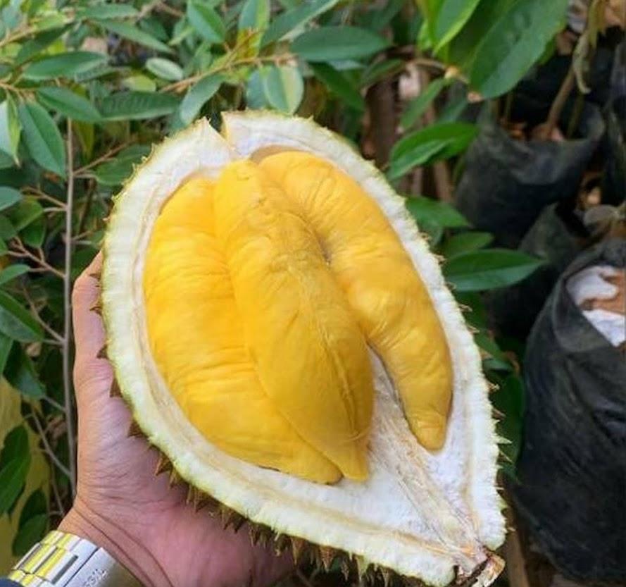 Bibit Durian Montong Super Sulawesi Tenggara