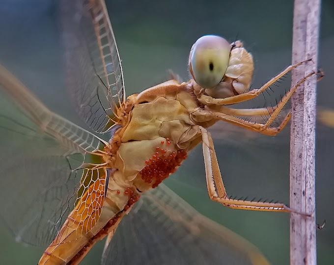Grasshopper & eggs
