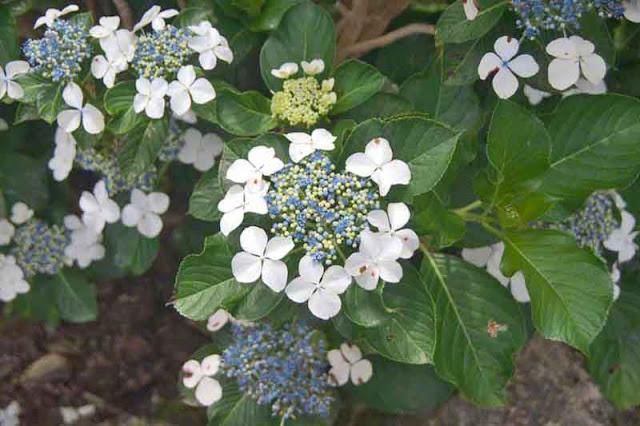 flowers, gardens, Hydrangea, Okinawa, Yohena