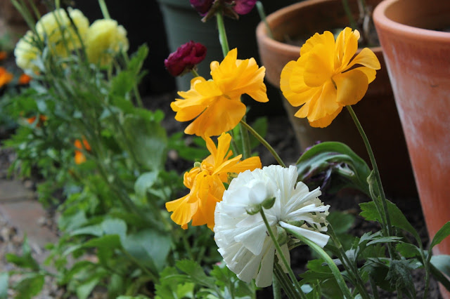 Rear view of yellow and cream Ranunculus flowers growing next to terracotta pots