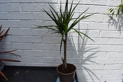 https://www.reviewthisreviews.com/2021/06/reviewing-growing-and-care-of-dracena.html