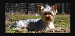 Yorkshire terrier puppies are very important for every person who likes to have puppies