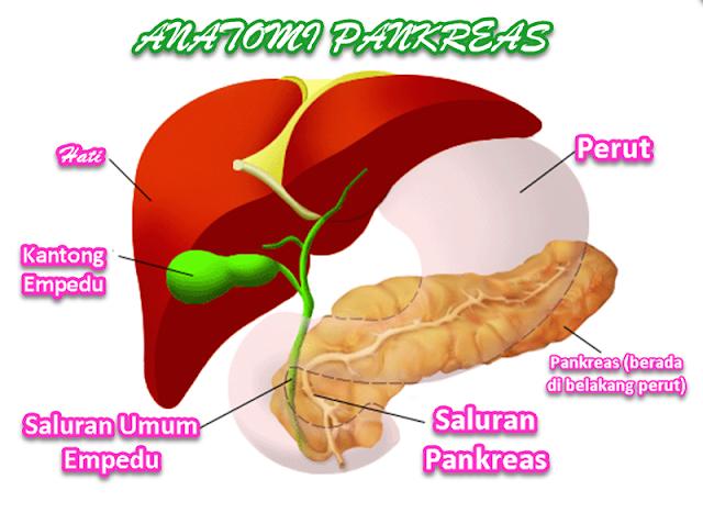 Pankreas: Anatomi serta posisi pankreas berada tepat di bagian belakang dari perut. Keterangan gambar pankreas; Merah; hati, Hijau: kantong empedu, serta saluran kantong empedu, Cokelat muda: saluran pankreas, Cokelat tua: pankreas, serta Putih transparan: perut.