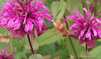 Bee balm and Clearwing sphinx moth - © Denise Motard