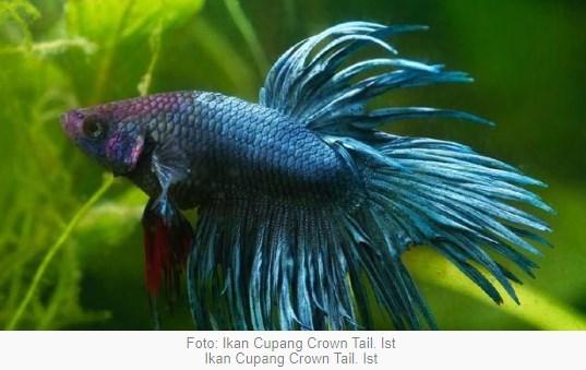 Ikan Cupang Crown Tail, Jadi Idola Trend Tahun 2021