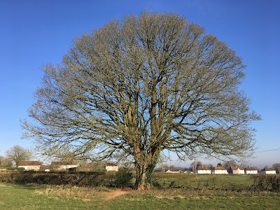 Photo of a bare chestnut tree against a blue sky