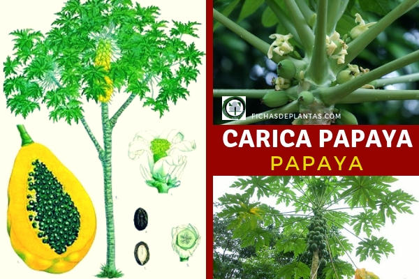 Árbol Carica Papaya, papaya o papayón, fruta bomba, melón papaya, melón de árbol, entre otras