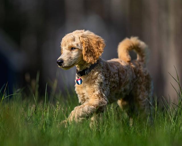 كلاب-صغيره كلاب-الصيد بيتبول-امريكي صور-كلاب-هاسكي عالم-الكلاب اكبر-كلب-في-العالم كلب-هاسكي-صغير كلاب-بومرينيان