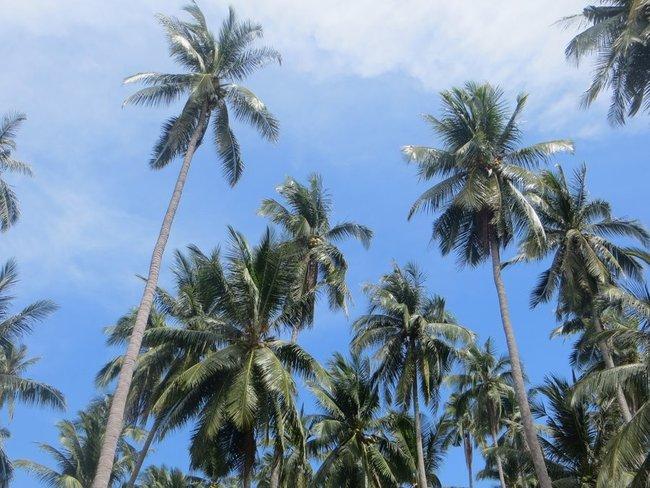Высокие и яркие пальмы Таиланда