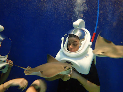 cownose stingray during Sea TREK helmet dive
