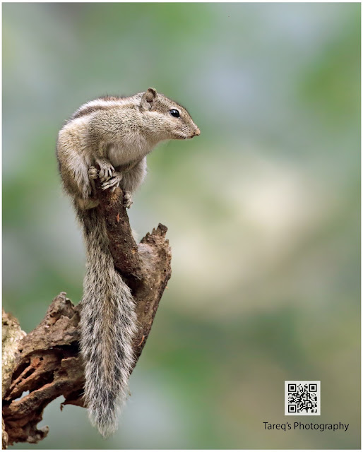 The Indian palm squirrel or three-striped palm squirrel