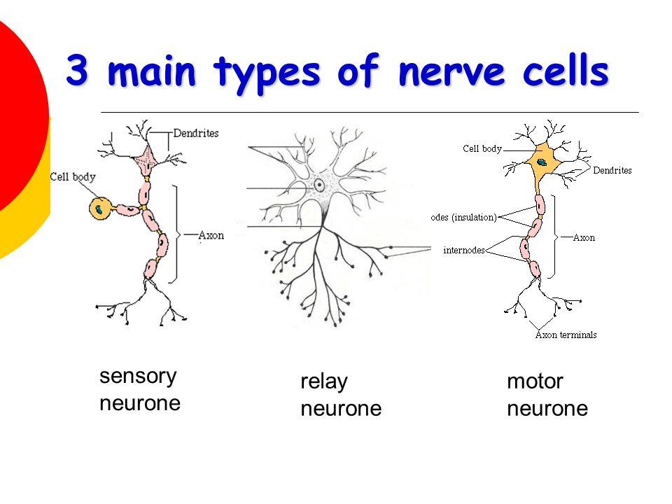 Biology Unit 7.1: Nervous Control in Humans / Look Good ...