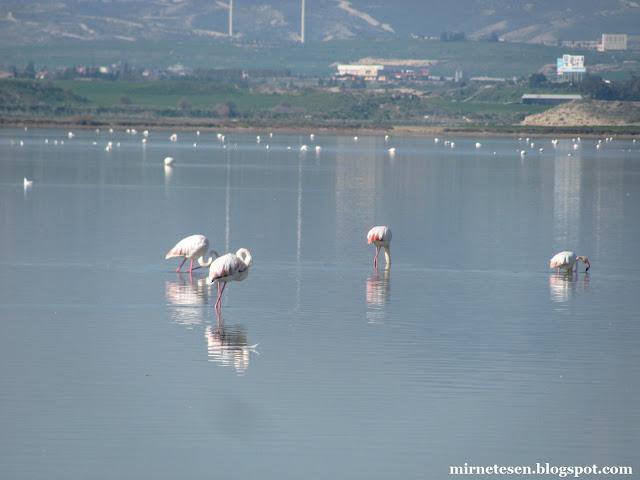 Фламинго на Солёном озере, Ларнака, Кипр