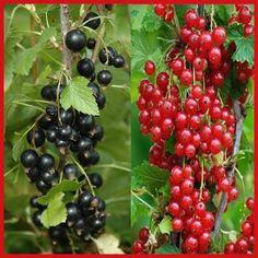 manfaat-buah-buni-bagi-kesehatan,www.healthnote25.com