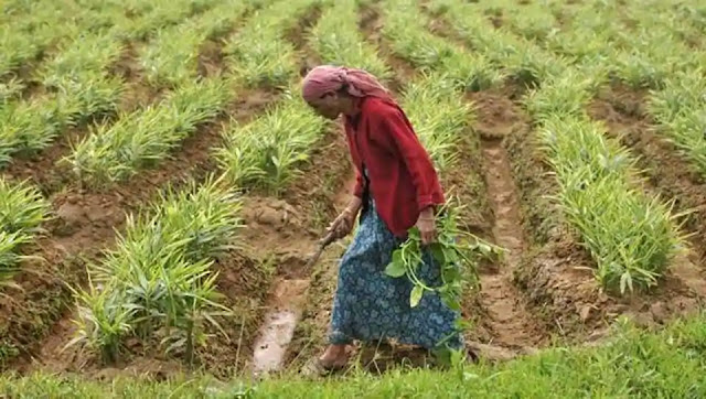 Bengal's ginger farmers reap profit as sales shoot during Covid-19 pandemic