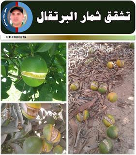 تشقق ثمار البرتقال