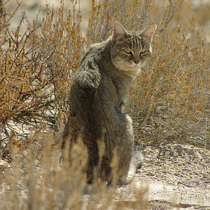 Brown African wildcat sitting in the savannah