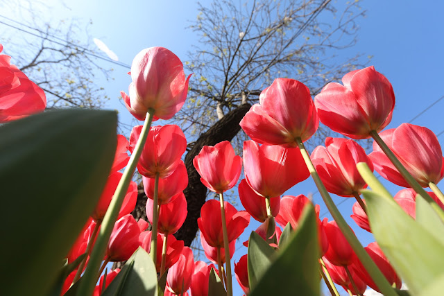 Beautiful Tulips at Sultanahmet in Istanbul, Turkey during Spring