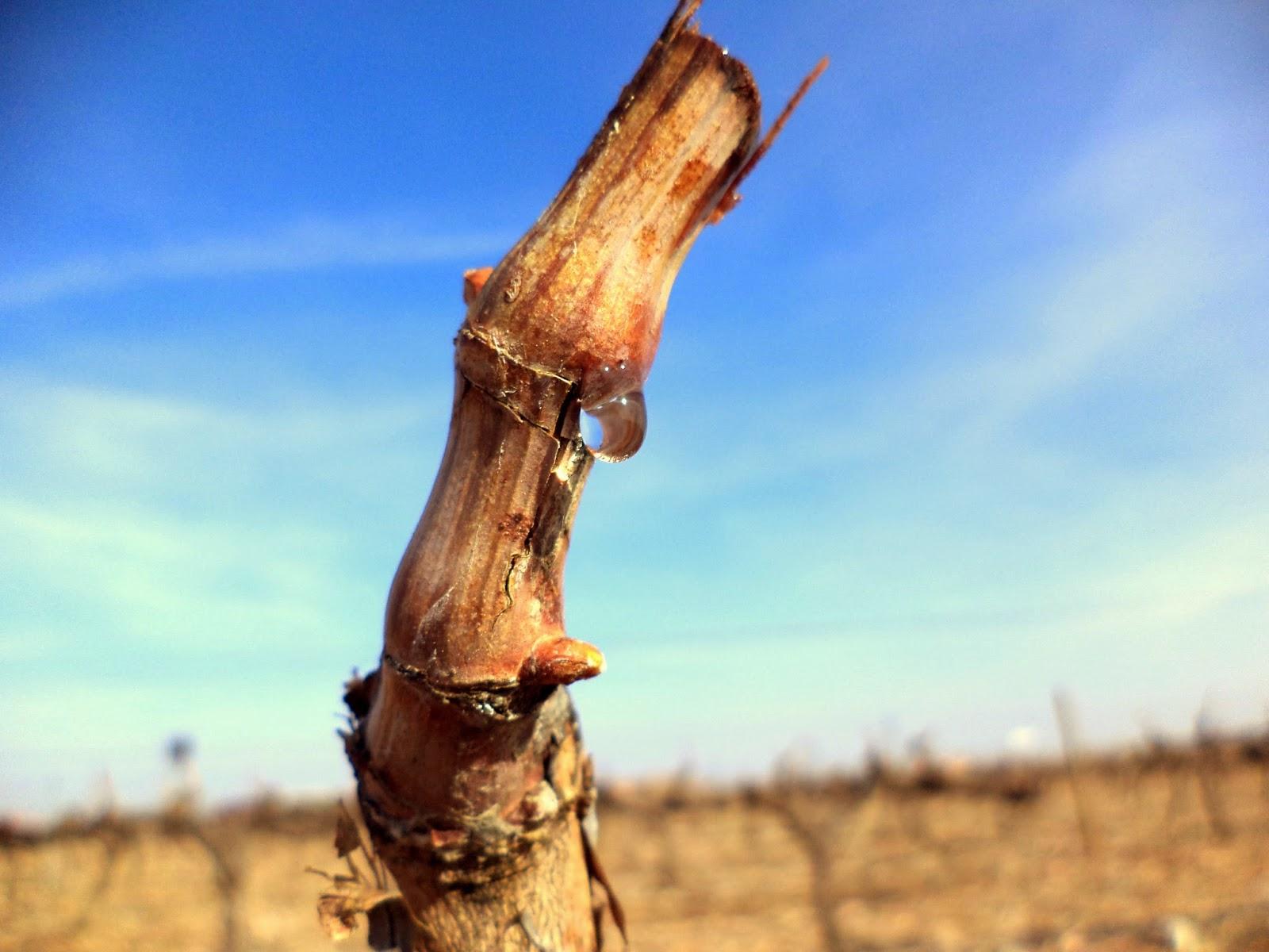 Fotografía de un pulgar de una cepa en Cariñena.