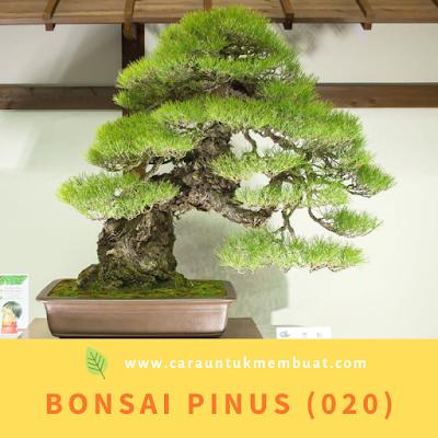 Bonsai Pinus (020)