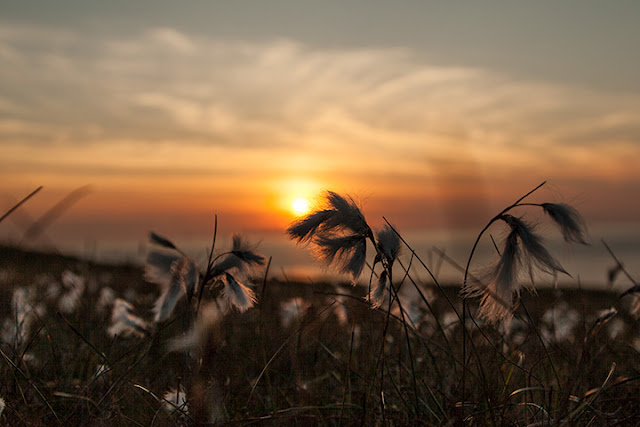 Sun setting behind cotton grass