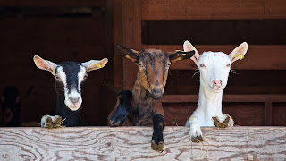Three different coloured goats with their front hooves on the top of a stable door