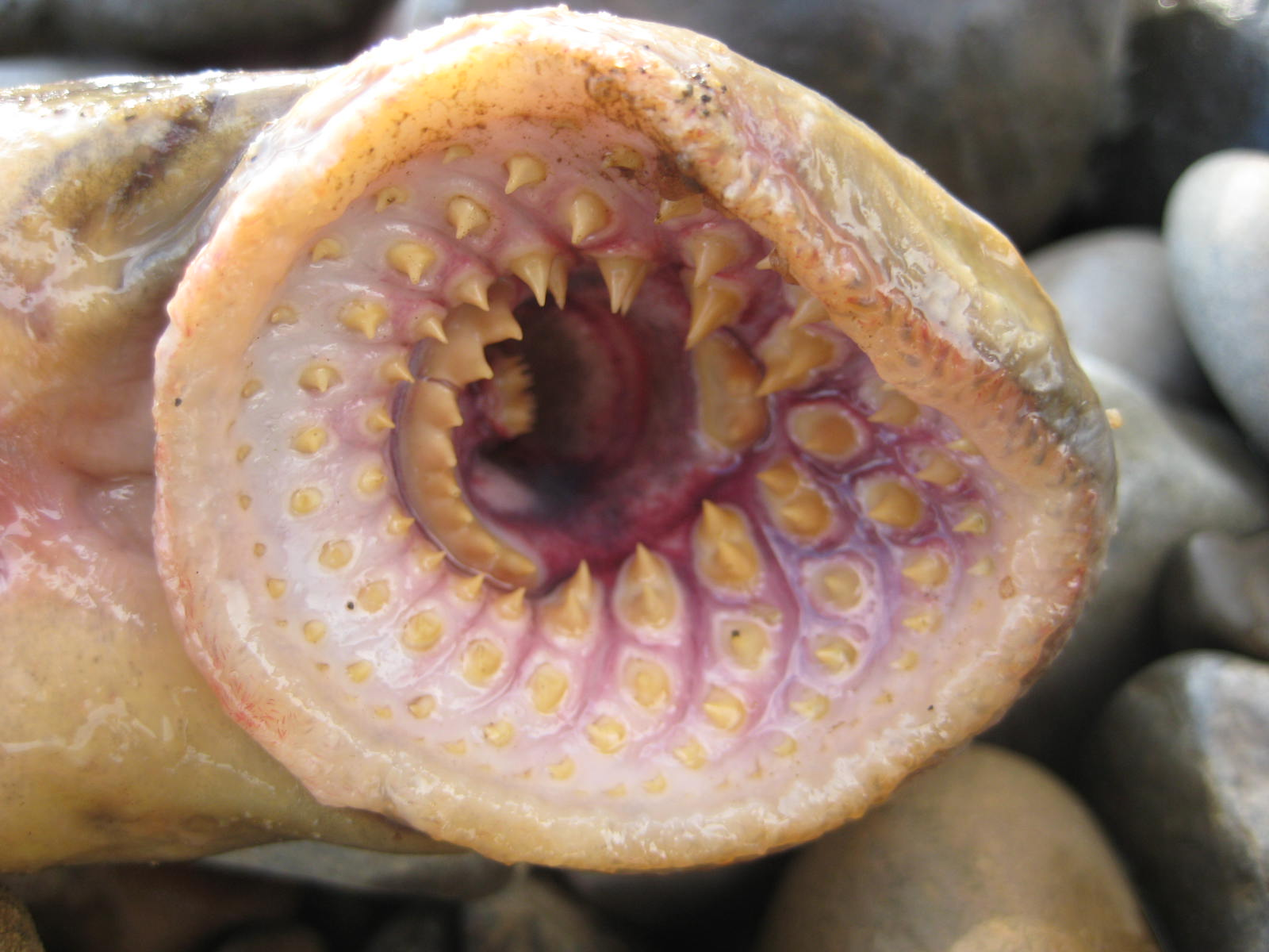 Lamprey Bite Human Sea...