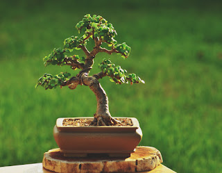 macetas bonsai