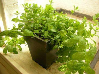 انتج فى المنزل - Recycle Idea in Home : كيفية زراعة النعناع