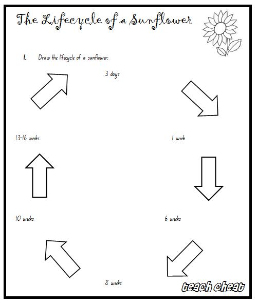 Teach Cheat: Life Cycles: Sunflowers