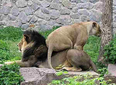 Female lion sits on male lion need new furniture