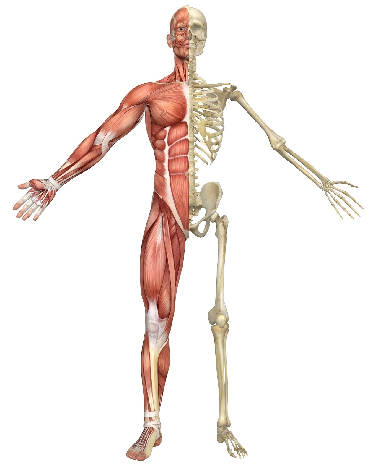 Unique Anatomy For Massage Therapists Ensign - Human Anatomy Images ...