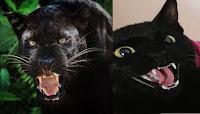 Los gatos negros son panteras en miniaturas
