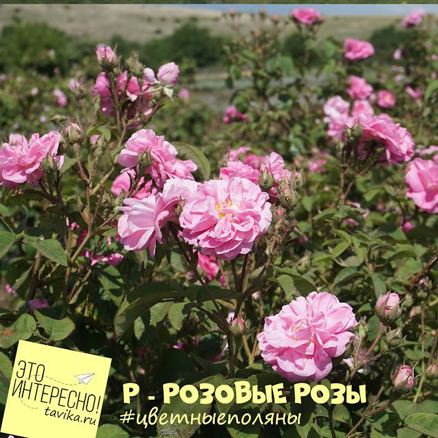 Поле крымской розы