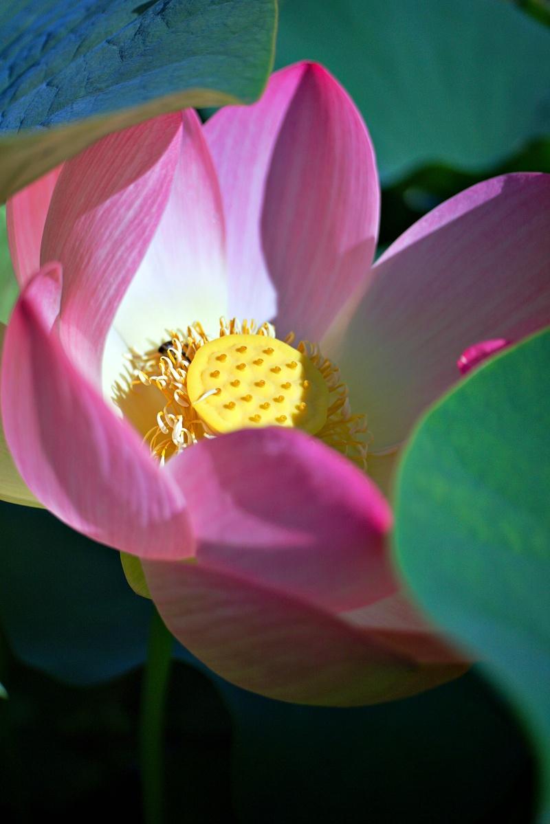 Blüte am Seerosenteich