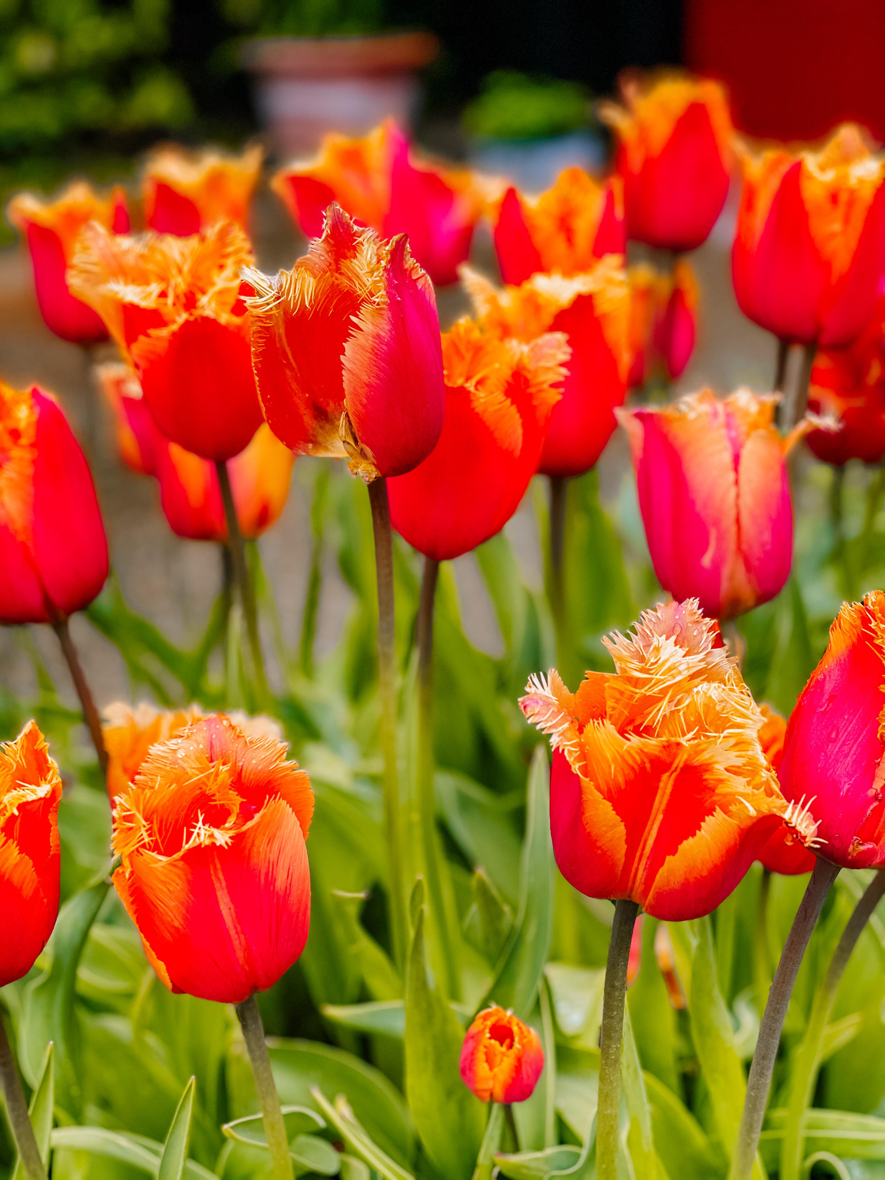 arundel castle tulips