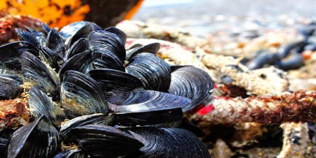 Πρέβεζα: Εντοπισμός βιοτοξινών σε μύδια – Απαγόρευση αλιείας