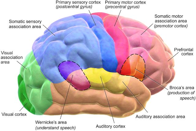 Walnut for brain health