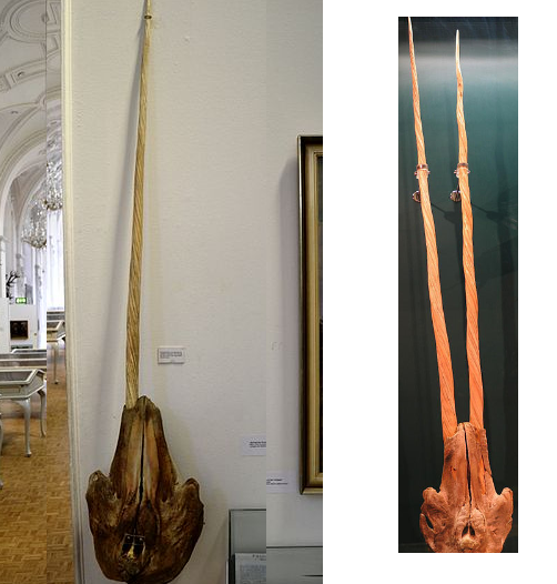 One tusk skull vs two tusk skull (narwhal)