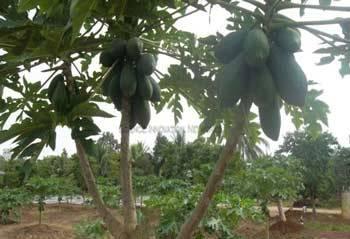 Peremajaan tanaman papaya dengan pemangkasan