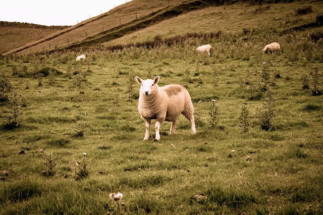 Photograph Fluffy White Scottish Sheep