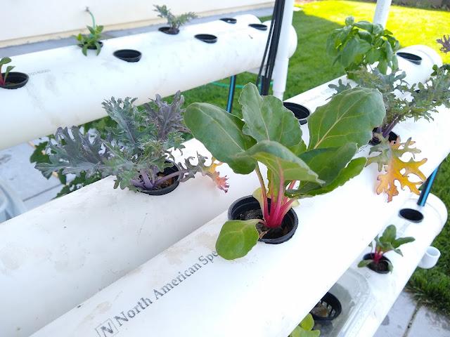 hydroponic swiss chard