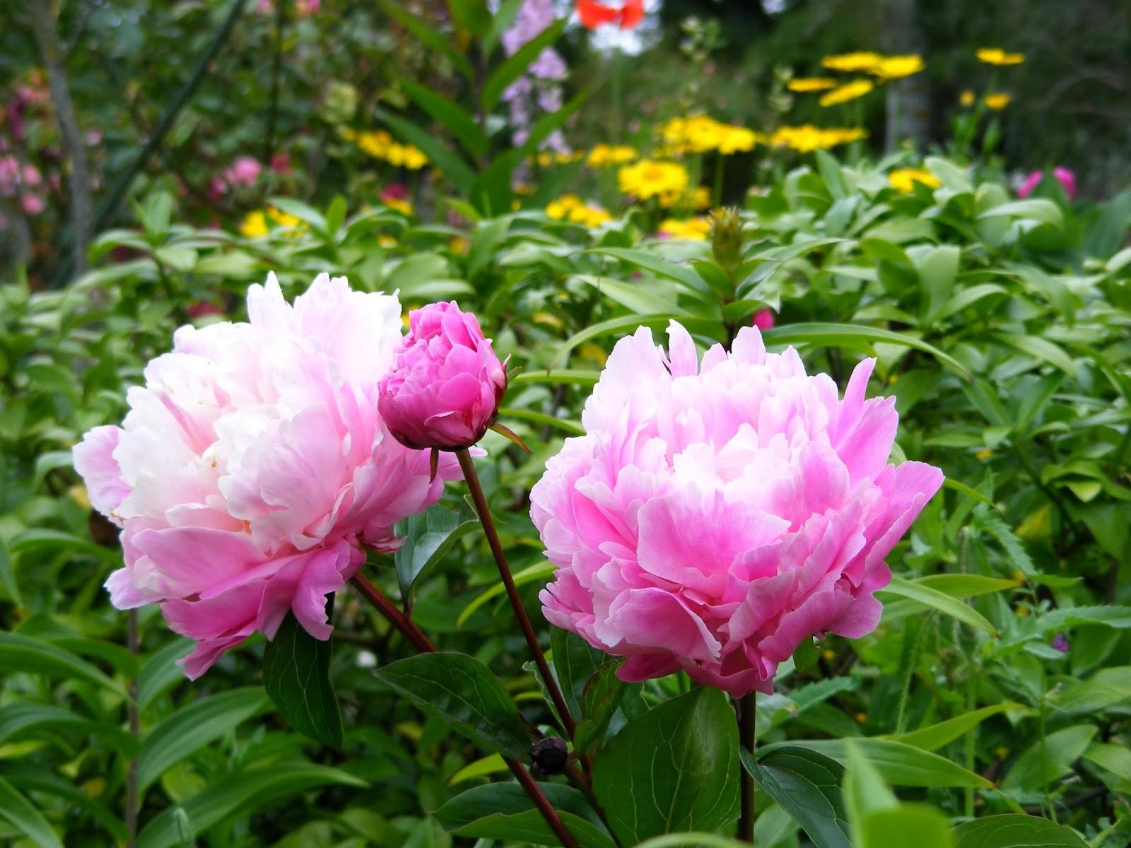 Dursley Garden Wairarapa New Zealand Paeonies And