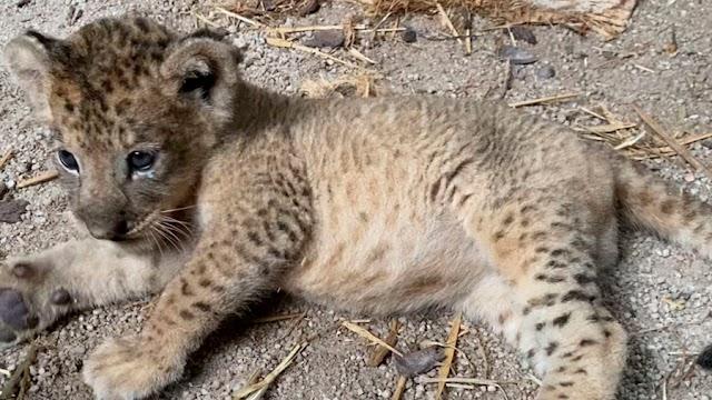#Simba, el primer cachorro león concebido por inseminación artificial