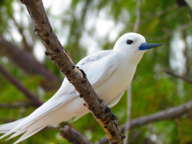 Chim nhàn trắng phân bố rộng khắp Thái Bình Dương, Ấn Độ Dương và một số đảo thuộc Đại Tây Dương
