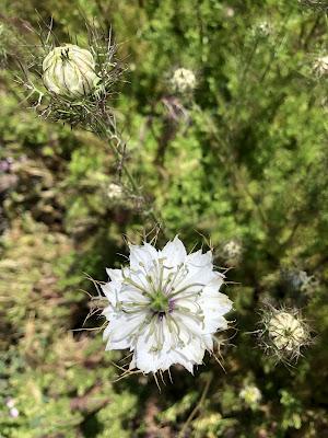nigella flowers in the field