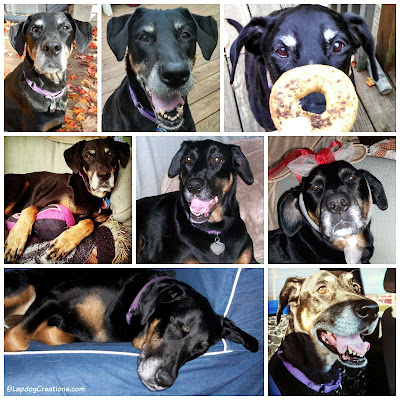 smiling doberman mix rescue dog