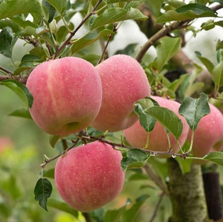 bibit apel fuji Pangkalpinang